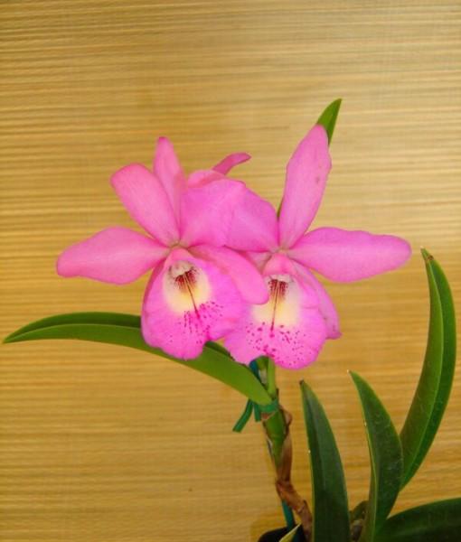 Dendrobium_Orchi_4d0a0d1d06b46