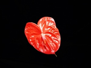 ANTHURIUM- Bright Red