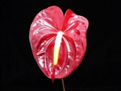 ANTHURIUM-Dark red