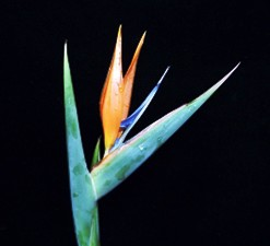 Bird of Paradise (5 per Bunch)