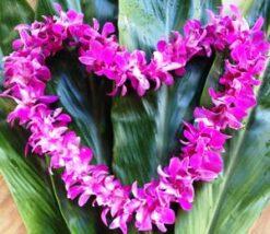 Dendrobium Single