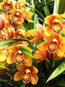 Cybidium Orange (Per Bloom)