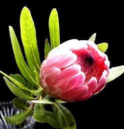 Protea Pink Mink (Each)