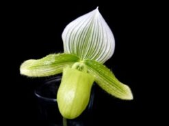 Paphiopedilum-Lady-Slipper-Orchid-Green.jpg