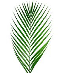 FOLIAGE-Areca-Palm