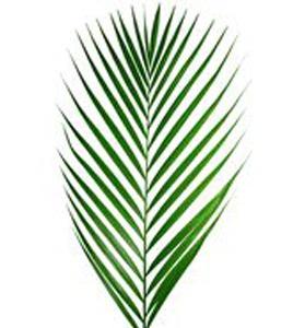 FOLIAGE-Areca-Palm