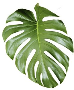 FOLIAGE-Monstera-