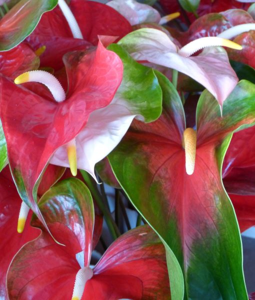 Assorted obake anthuriums