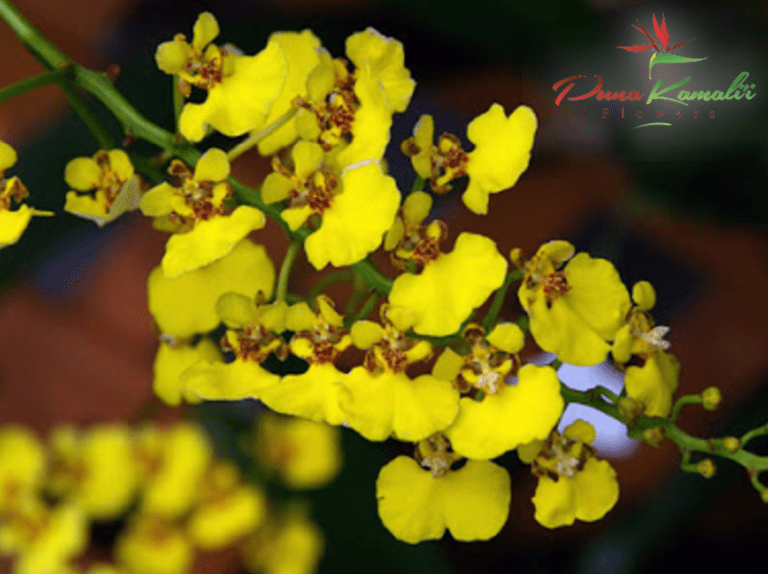 OncidiumOrchid