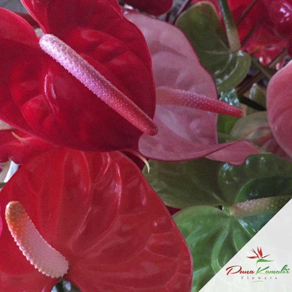 Anthuriums puna kamalii flowers inc homewholesale izmirmasajfo
